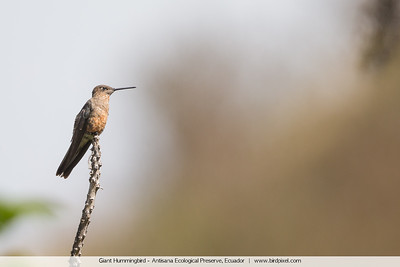 Giant Hummingbird - Antisana Ecological Preserve, Ecuador