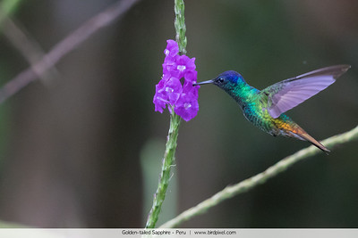 Golden-tailed Sapphire - Peru