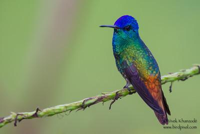 Golden-tailed Sapphire - Amazonia Lodge, Nr. Manu National Park, Peru