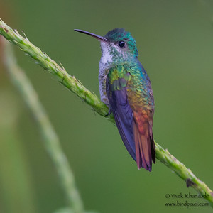 Golden-tailed Sapphire - Amazonia Lodge, Nr. Manu National Park, Peru