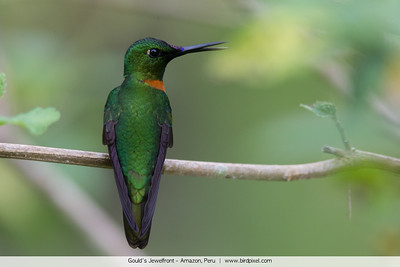 Gould's Jewelfront - Amazon, Peru
