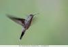 Gray-breasted Sabrewing - Moyobamba, Peru