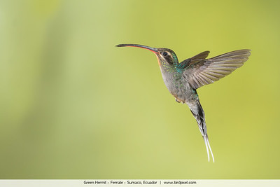 Green Hermit - Female - Sumaco, Ecuador