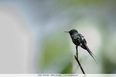 Green Thorntail - Mindo, Ecuador