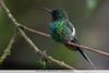 Green Thorntail - Mindo, Ecuador