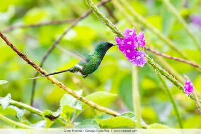 Green Thorntail - Cartago, Costa Rica