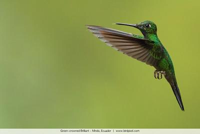 Green-crowned Brilliant - Mindo, Ecuador