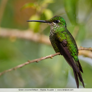 Green-crowned Brilliant - Mashpi, Ecuador