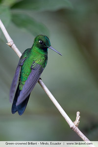 Green-crowned Brilliant - Mindo, Ecuador