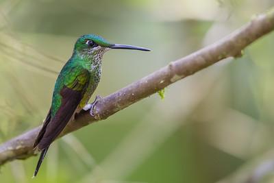 Green-crowned Brilliant - Refugio Paz de las Aves, Nr. Mindo, Ecuador