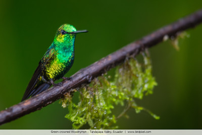 Green-crowned Woodnymph - Tandayapa Valley, Ecuador