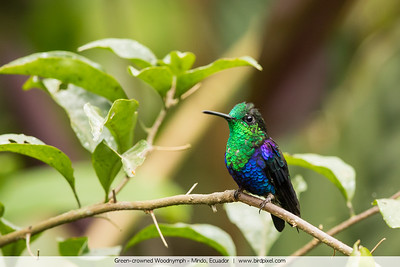 Green-crowned Woodnymph - Mindo, Ecuador