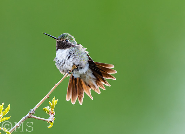 Hummingbird Image Gallery