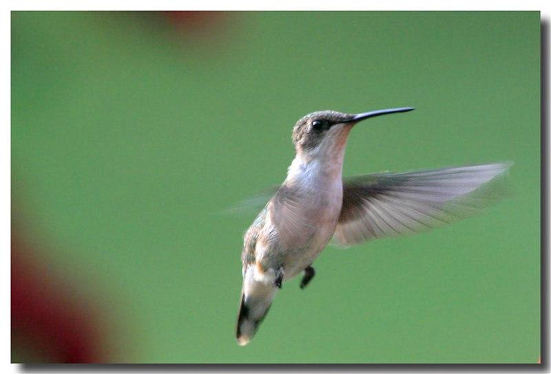 6-21-06 Hummingbird