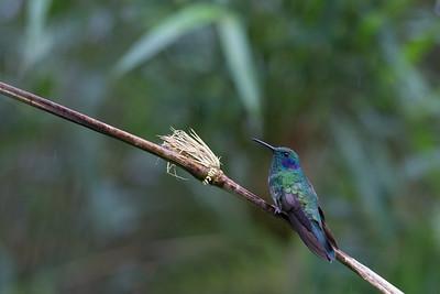 Lesser Violetear - Cabanas San Isidro, Ecuador