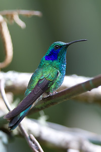 Green Violet-ear - Savegre, Costa Rica