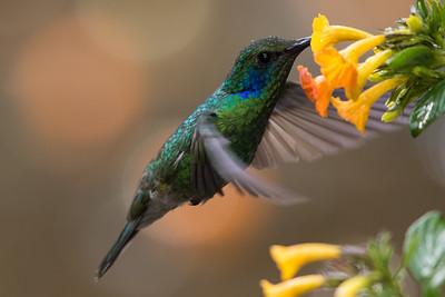 Lesser Violetear - Los Quetzales Lodge, Guadalupe, Panama