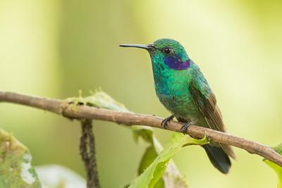 Lesser Violetear - Mindo, Ecuador