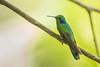 Green Violetear - Mindo, Ecuador