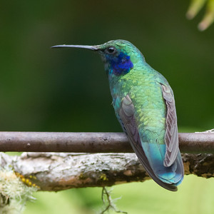 Green Violet-ear - Savegre, Costa Rica