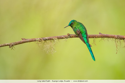 Long-tailed Sylph - Guango Lodge, Ecuador