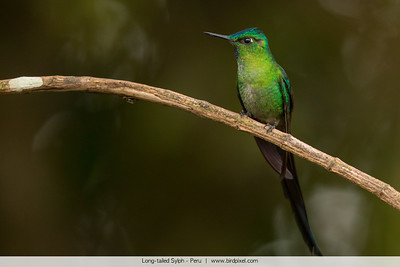 Long-tailed Sylph - Peru