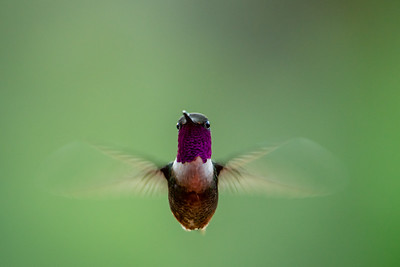 Magenta-throated Woodstar - San Jose, Costa Rica