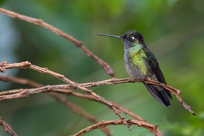 Magnificent Hummingbird - Female - Cabanas Los Quetzales, Guadalupe, Panama