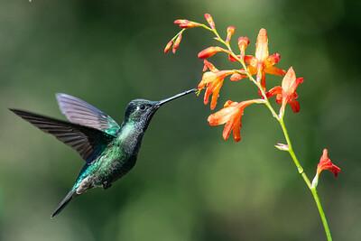 Talamanca Hummingbird - San Jose, Costa Rica