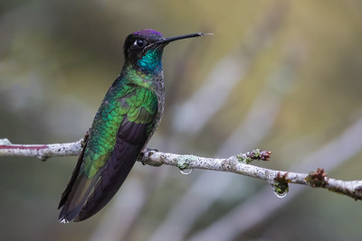Magnificent Hummingbird - Male - Los Quetzales Lodge, Guadalupe, Panama