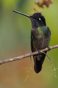 Magnificent Hummingbird - Female - Los Quetzales Lodge, Guadalupe, PA