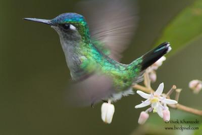 Violet-headed Hummingbird - Female - Record shot - Arenal, Costa Rica