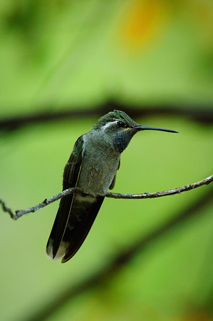 Magnificent Hummingbird-29