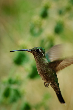 Magnificent Hummingbird-42