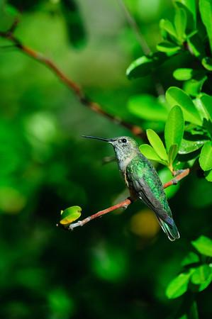 Magnificent Hummingbird-11