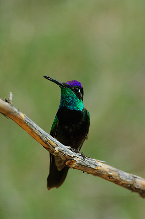 Magnificent Hummingbird-18