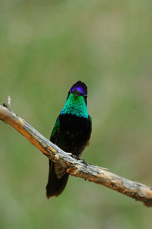 Magnificent Hummingbird-19