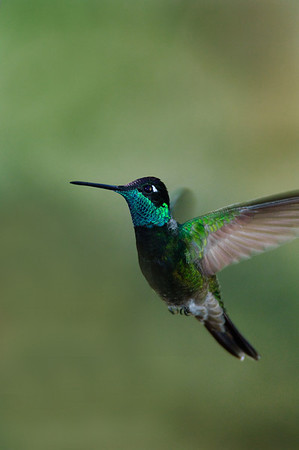 Magnificent Hummingbird-12