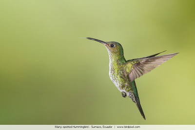 Many-spotted Hummingbird - Sumaco, Ecuador