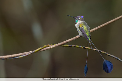 Marvelous Spatuletail - Peru