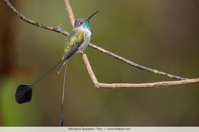 Marvelous Spatuletail - Peru