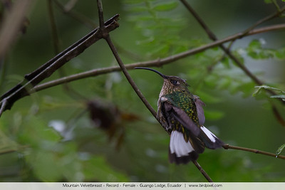 Mountain Velvetbreast - Record - Female - Guango Lodge, Ecuador