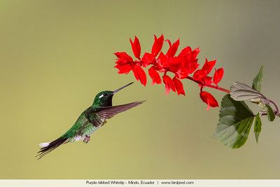 Purple-bibbed Whitetip - Mindo, Ecuador
