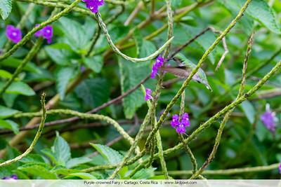 Purple-crowned Fairy - Cartago, Costa Rica