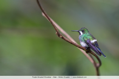 Purple-throated Woodstar - Male - Mindo, Ecuador