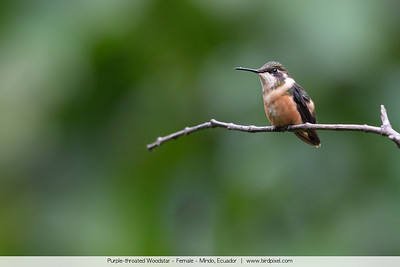 Purple-throated Woodstar - Female - Mindo, Ecuador
