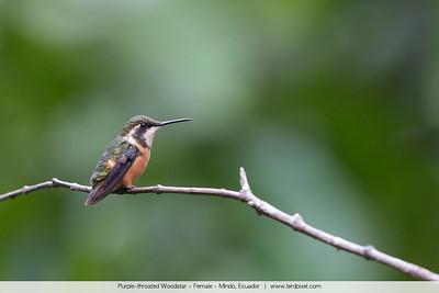 Purple-throated Woodstar - Female - Mindo, Ecuador