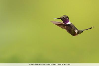 Purple-throated Woodstar - Mindo, Ecuador