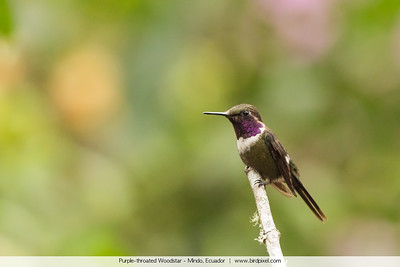 Purple-throated Woodstar - Mindo, Ecuador