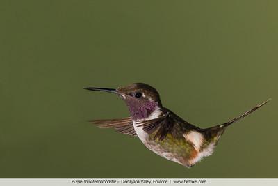 Purple-throated Woodstar - Tandayapa Valley, Ecuador